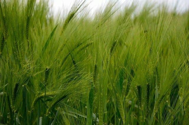 young green barley