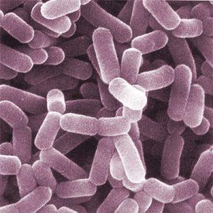 probiotic bacteria under the microscope