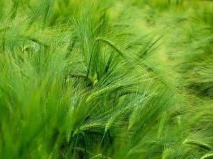 Green barley ears