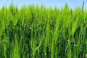 ears of young green barley