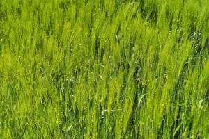 barley 784402 640 300x200 1