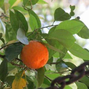 bitter orange fruit