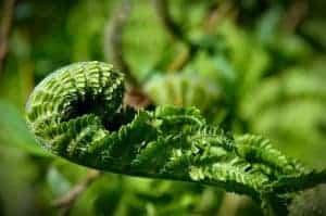 Common fern