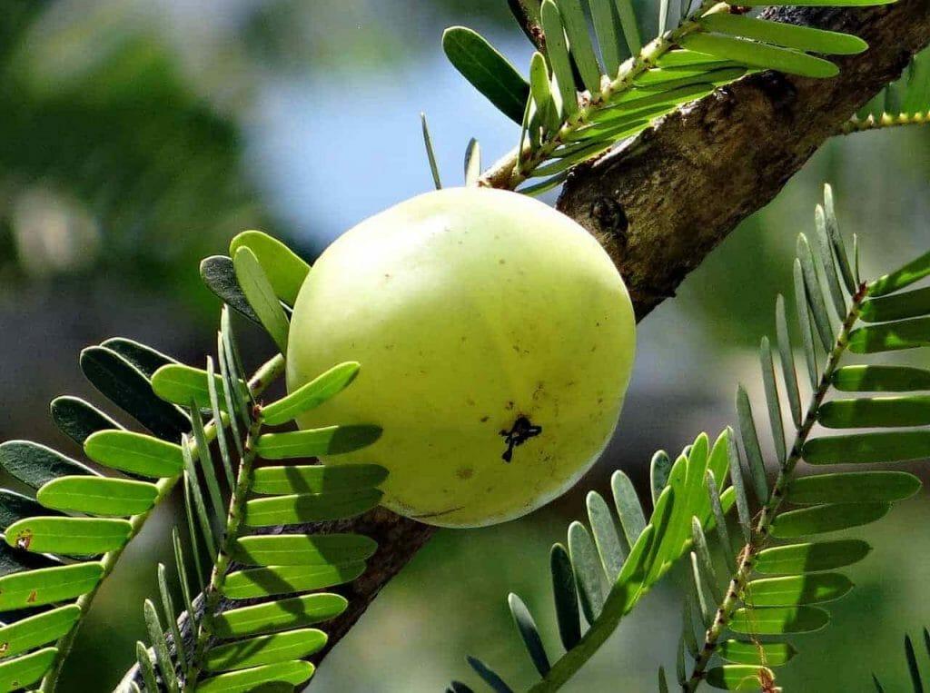 indian gooseberry 337445 1280