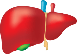 drawing of the liver