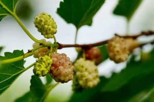 White mulberry fruits on the bush