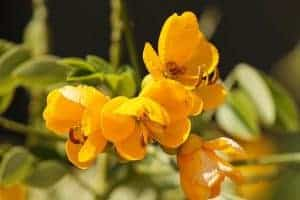 senesco flowers