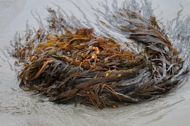 Dried bladderwrack