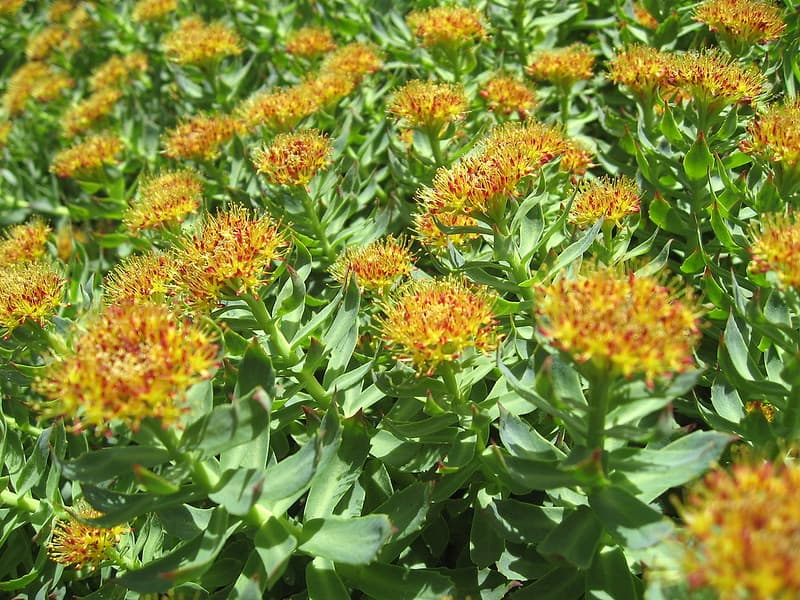 Rhodiola rosea Rhodiola rosea
