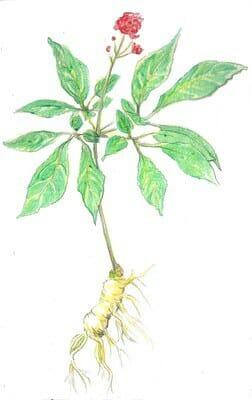 Ginseng proper (Panax ginseng)