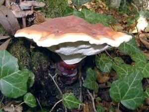 Fungus reishi (Ganoderma lucidum)