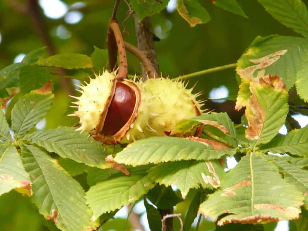 chestnuts on the tree
