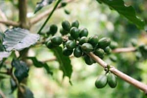 Green coffee fruit on the branch