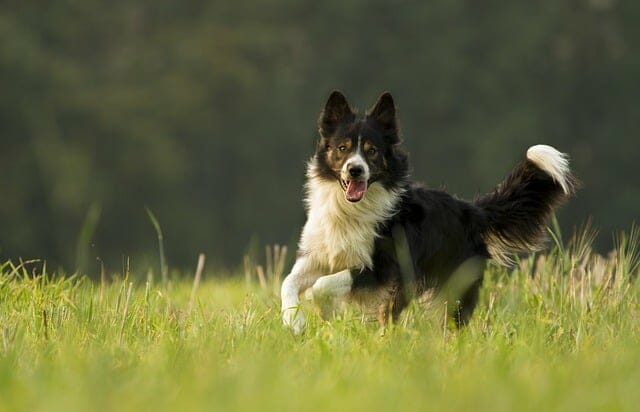 Your dog is running in the meadow