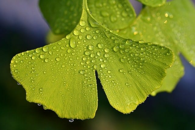 green leaves covered with dew