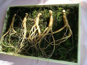 Ginseng root, ginseng proper (Panax ginseng)