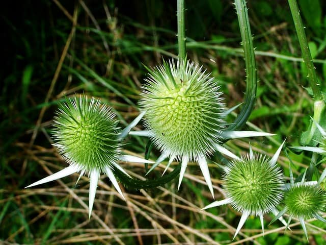 Thistle, the plant