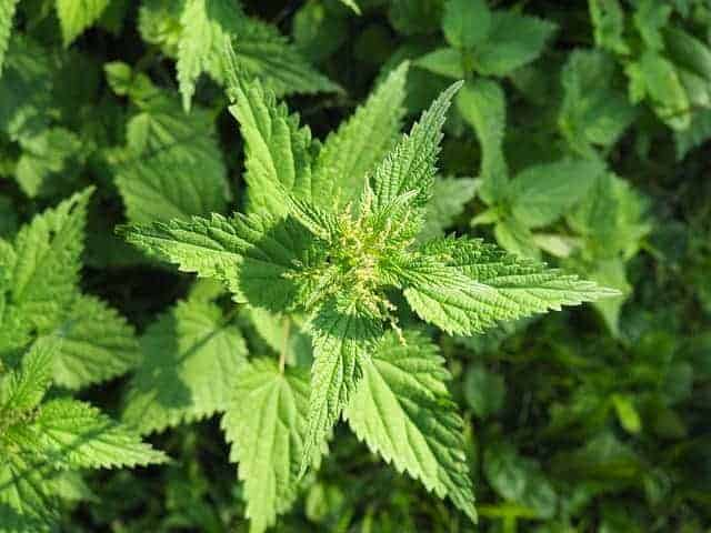 Nettle bush