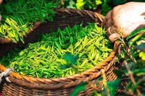 green tea in a basket