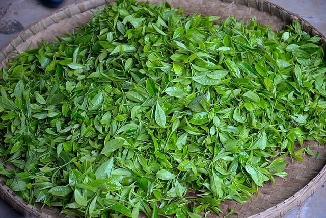 green tea - fresh leaves