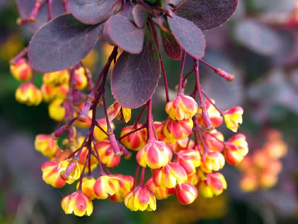 Common barberry